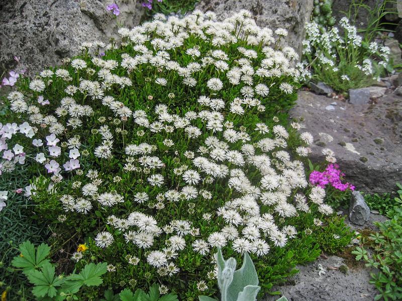 "Globularia cordifolia var. ""Alba"""