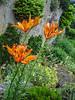 Lilium bulbiferum ssp. bulbiferum