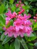 Rhododendron ferruginea