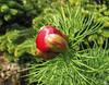 Paeonia tennifolia