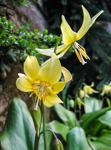 Erythronium pagoda