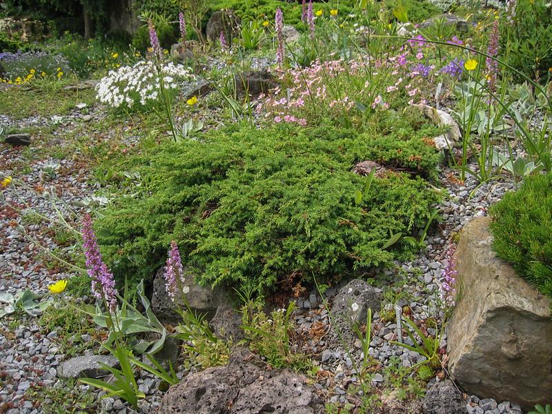 "Juniperus ""Green Carpet"""