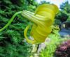 Lilium monadelphum