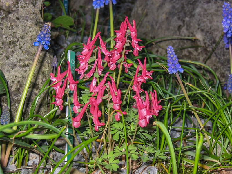 "Corydalis solida and Muscari armeniacum""Grape Hyacinth"""