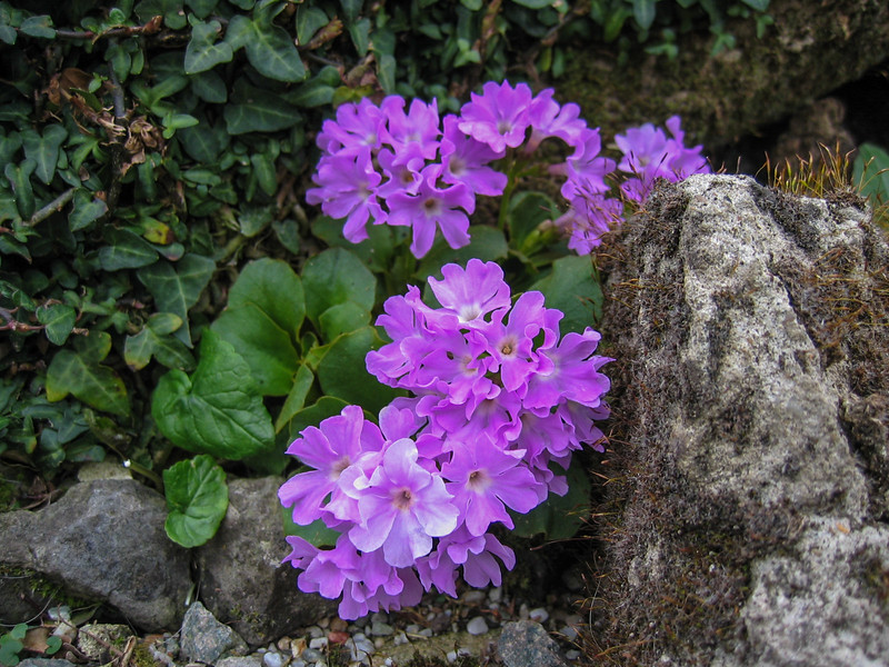 Primula daoensis