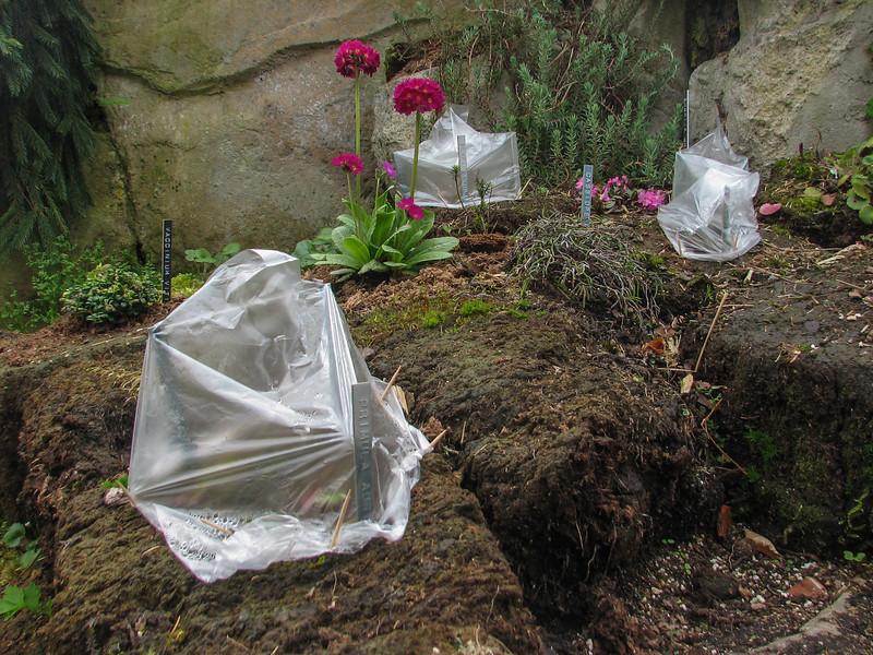 Shortia uniflora seedlings