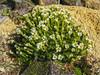 Saxifraga apiculata