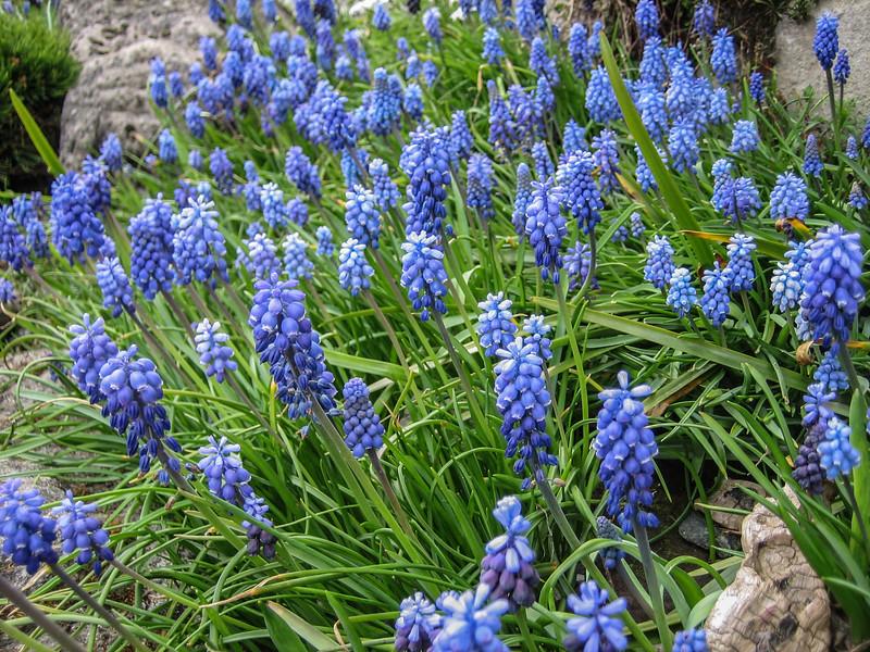"""Muscari armeniacum""""Grape Hyacinth"""""""