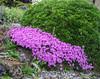 Dianthus subacaulis