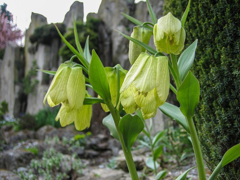 Fritillaria pallidiflora