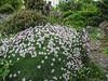 """Dianthus """"Nyewoods Cream"""""""