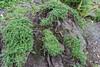 "Cotoneaster microphylla ""nana"""