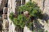 "Pinus sylvestris ""Sandringham"""
