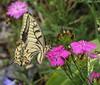 Papilio machaon, Swallowtail, (NL: koninginnepage)