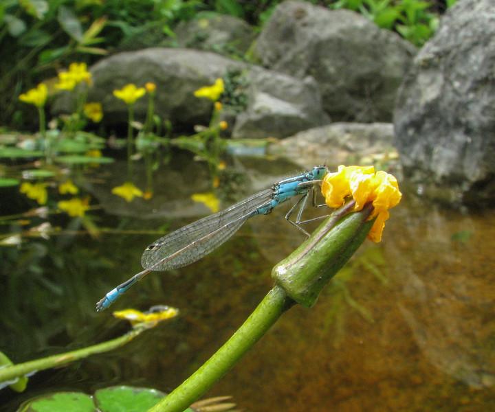 Ischnura elegans on Nymphoides peltata