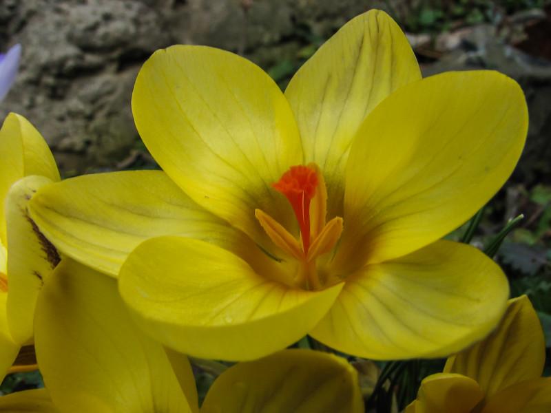 "Crocus chrysanthus ""Gipsy Girl"""