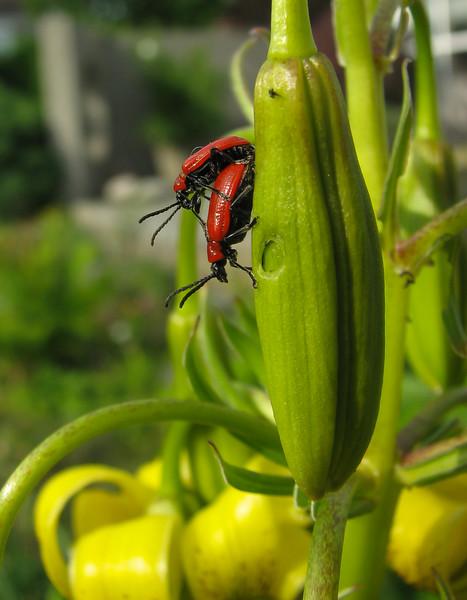 Lilioceris lilii