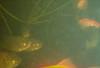 Phoxinus phoxinus and Carassius auratus