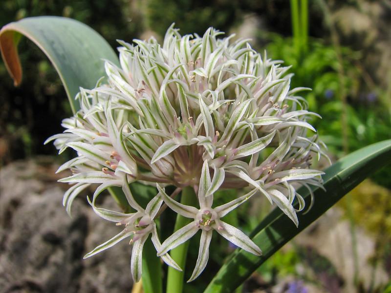 Allium spec
