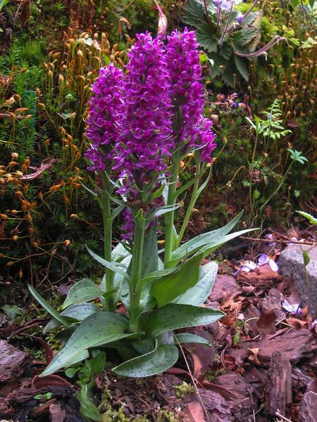 Orchis purpurella ssp. majaliformis