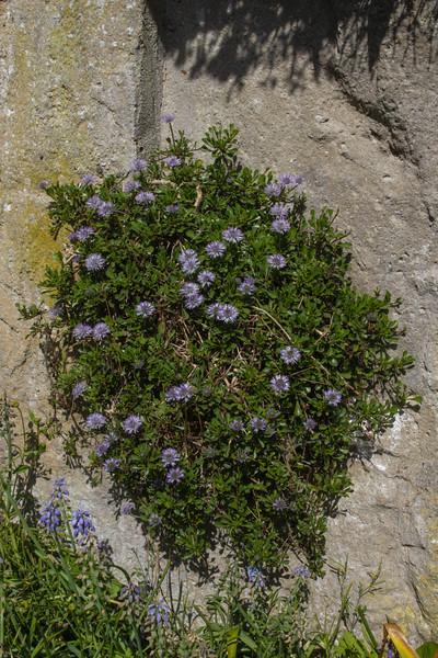 Globularia cordifolia