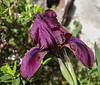 Iris spec