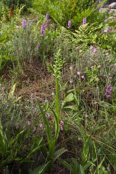 Platanthera cf. chlorantha