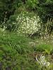 Anthericum ramosum
