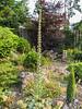 Echium italicum ssp pyrenaicum
