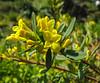 Daphne aurantiaca var. calcicola