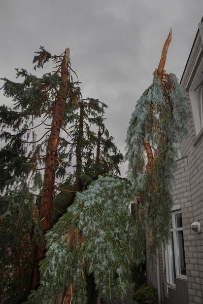 "Picea omorika pendula ""Bruns"""