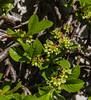 Rhamnus pumila