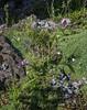 Dactylorhiza spec