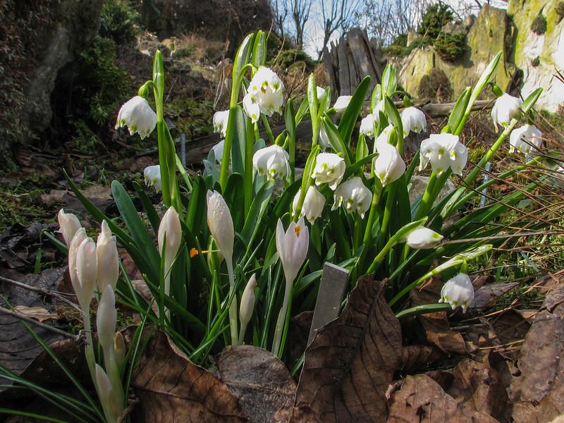 Crocus vernus ssp. albiflorus and Leucojum vernum