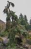 "Picea omorika ""pendula"""