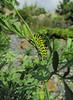 Papilio machaon on Ruta graveolens