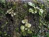 Shortia uniflora