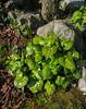 Beesia calthifolia