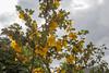 Fremontodendron californium