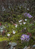 Crocus tommasinianus and C. biflorus