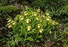 Cypripedium lutea