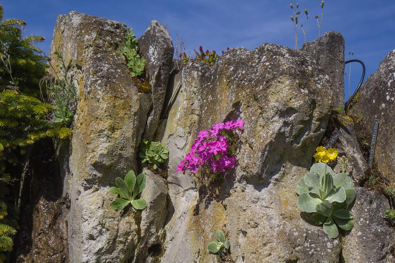 Phlox daniels cushion and Primula marginata and P. auricula
