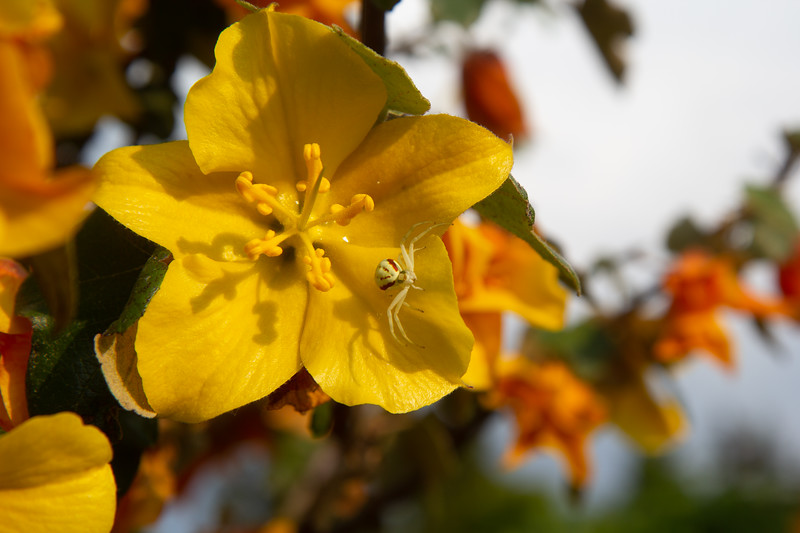 Misumena vatia on Fremontodendron californium