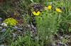 Euphorbia myrsinites and Adonis vernalis