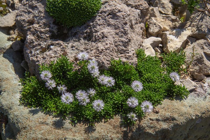 Globularia cordifolia var. nana