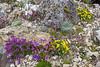 Erinus alpinus, Viola dubiana and Morisia monanthos