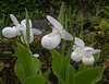 "Cypripedium ""Regina White"""