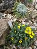 Morisia monanthes