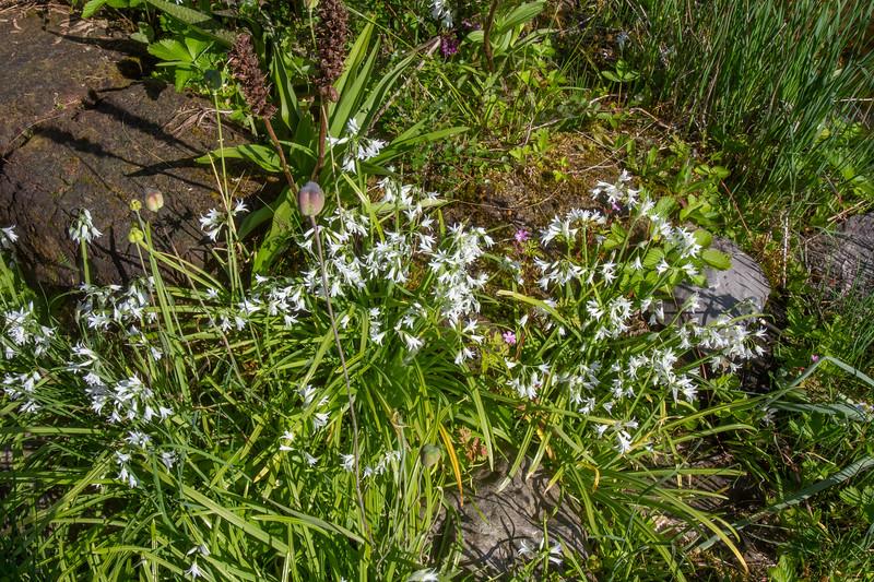 Allium trifolium