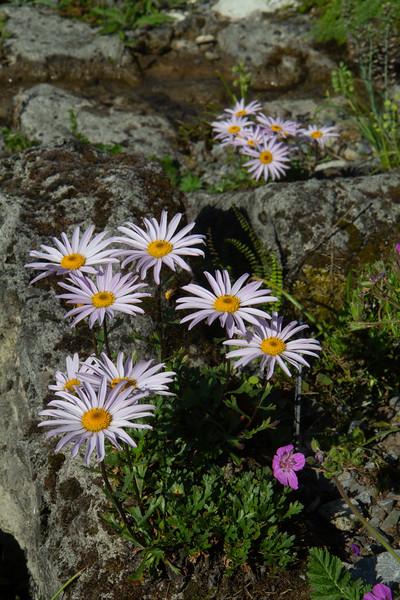 Chrysanthemum weicheri
